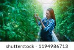 women are picking tomatoes in... | Shutterstock . vector #1194986713