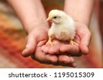 A Small Chicken Sitting On The...