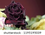 Small photo of Close up of withered dry dark red rose. Red wine color background with copy space.
