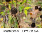 coneflower seed heads are dry... | Shutterstock . vector #1195245466