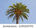 palm tree with its green leaves ... | Shutterstock . vector #1195245793