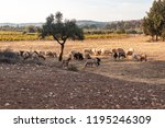 field with sheeps | Shutterstock . vector #1195246309
