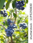 blueberries   vaccinium... | Shutterstock . vector #1195250830