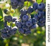 blueberries   delicious ... | Shutterstock . vector #1195256659
