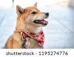 shiba inu  japanese dog ...   Shutterstock . vector #1195274776