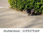 little black spitz   pomeranian ...   Shutterstock . vector #1195275169