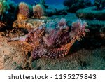 scorpion fish on the seabed  in ... | Shutterstock . vector #1195279843