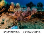 scorpion fish on the seabed  in ... | Shutterstock . vector #1195279846