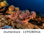 scorpion fish on the seabed  in ... | Shutterstock . vector #1195280416