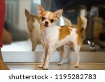 small dog standing near mirror... | Shutterstock . vector #1195282783