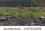 pine forest with felled trees. | Shutterstock . vector #1195322050