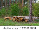 pine forest with felled trees. | Shutterstock . vector #1195322053