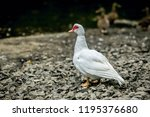 white south american duck ... | Shutterstock . vector #1195376680
