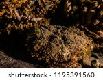 scorpion fish on the seabed  in ... | Shutterstock . vector #1195391560