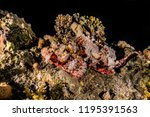 scorpion fish on the seabed  in ... | Shutterstock . vector #1195391563