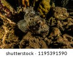 scorpion fish on the seabed  in ... | Shutterstock . vector #1195391590