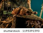 scorpion fish on the seabed  in ... | Shutterstock . vector #1195391593