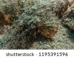 scorpion fish on the seabed  in ... | Shutterstock . vector #1195391596