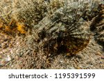 scorpion fish on the seabed  in ... | Shutterstock . vector #1195391599