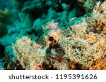 scorpion fish on the seabed  in ... | Shutterstock . vector #1195391626
