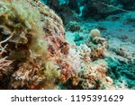 scorpion fish on the seabed  in ... | Shutterstock . vector #1195391629