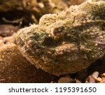 scorpion fish on the seabed  in ... | Shutterstock . vector #1195391650