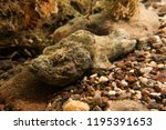 scorpion fish on the seabed  in ... | Shutterstock . vector #1195391653