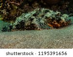 scorpion fish on the seabed  in ... | Shutterstock . vector #1195391656