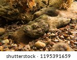 scorpion fish on the seabed  in ... | Shutterstock . vector #1195391659