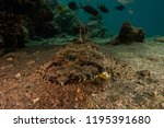 scorpion fish on the seabed  in ... | Shutterstock . vector #1195391680