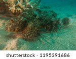 scorpion fish on the seabed  in ... | Shutterstock . vector #1195391686