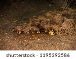 scorpion fish on the seabed  in ... | Shutterstock . vector #1195392586