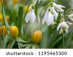 bunch of galanthus nivalis and... | Shutterstock . vector #1195465300
