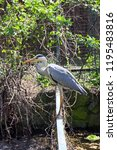 grey heron  ardea cinerea  is a ... | Shutterstock . vector #1195483816