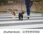 Stock photo dog walker crossing a street with dogs 1195493500