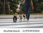 Stock photo dog walker crossing a street with dogs 1195493503