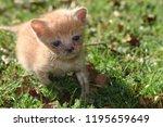 adorable ginger kitten on a... | Shutterstock . vector #1195659649