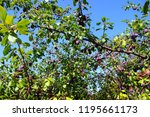 Plum Tree In Moscow Area ...