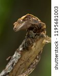 crested gecko  correlophus... | Shutterstock . vector #1195681003