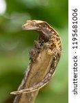 crested gecko  correlophus... | Shutterstock . vector #1195681006