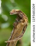 crested gecko  correlophus... | Shutterstock . vector #1195681009