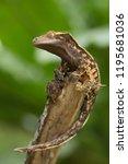 crested gecko  correlophus... | Shutterstock . vector #1195681036