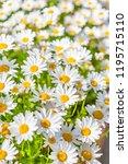 margaret in full bloom   Shutterstock . vector #1195715110
