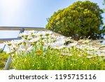 margaret in full bloom   Shutterstock . vector #1195715116