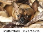 snout of the sleepy dog  french ... | Shutterstock . vector #1195755646