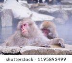 Japanese Snow Monkey Macaque I...