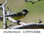 close up of a juvenile great... | Shutterstock . vector #1195913686