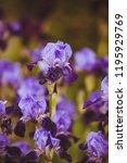 different varieties of irises | Shutterstock . vector #1195929769