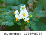 The White Flowers Of The Potato ...