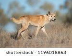 Australian Dingo In Desert...